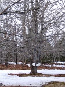 maple-sugaring